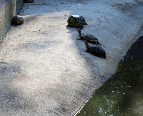 Pattaya Buddhas levande sköldpaddor