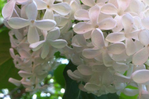 tillsammans med mina vita pimpinellrosor växer dessa vita suréner